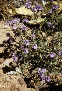 Pope's Phacelia (Phacelia popei) Big Bend National Park, TX, 1958