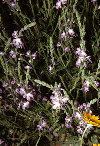 Hillside Vervain (Verbena neomexicana) Big Bend National Park, TX, 1958