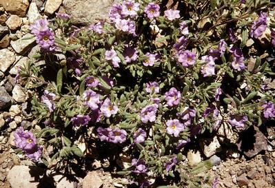 Purple Mat (Nama) Big Bend National Park, TX, 1958