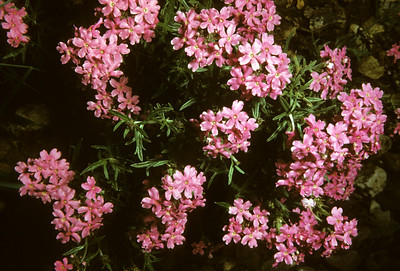 Davis Mountains Mock Vervain (Glandularia wrightii) Big Bend National Park, TX, 1958