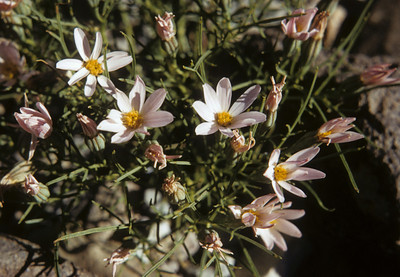 Edwards' Hole-in-the-sand Plant (Nicolletia edwardsii) Big Bend National Park, TX, 1959