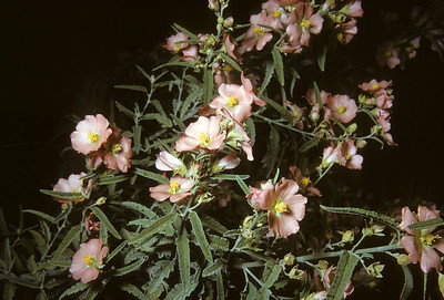 Globemallow (Sphaeralcea angustifolia) Big Bend National Park, TX, 1958