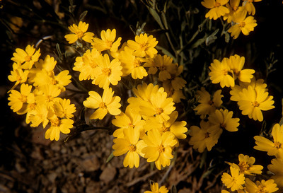 Paperflower (Psilostrophe gnaphalioides) Big Bend National Park, TX, 1959