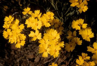Paperflower (Psilostrophe gnaphalioides) Big Bend National Park, TX, 1959