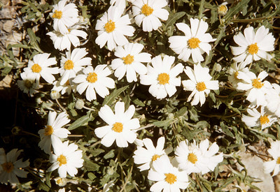 Blackfoot Daisy (Melampodium leucanthum) Big Bend National Park, TX, 1958