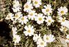 Blackfoot Daisy (<i>Melampodium leucanthum</i>) Big Bend National Park, TX, 1958