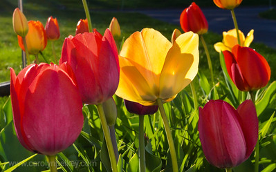 Bed of Tulip Color