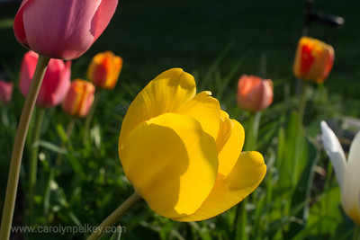 Translucent Tulip in Yellow