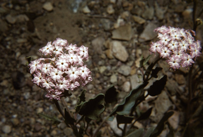 Purple Sand Verbena (Abronia angustifolia) Big Bend National Park, TX, 1960
