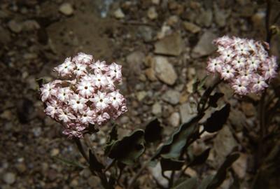 Purple Sand Verbena (Abronia angustifolia) Big Bend National Park, TX, 1960