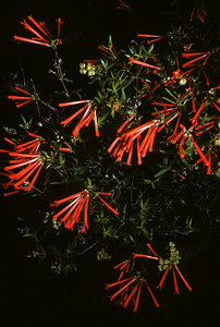 Scarlet bouvardia (Bouvardia ternifolia) Big Bend National Park, TX, 1958