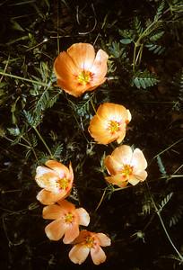 Arizona Caltrop, Arizona Poppy (Kallstroemia grandiflora) Big Bend National Park, TX, 1958