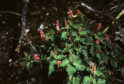 Bloodberry, Rougeplant (Rivina humilis) Big Bend National Park, TX, 1958