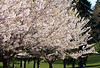 Sakura (Japanese Cherry) Tree, High Park, Toronto