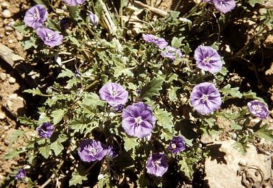 Five Eyes (Chamaesaracha) Big Bend National Park, TX, 1958