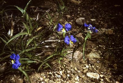 Whitemouth Dayflower (Commelina erecta) Big Bend National Park, TX, 1958