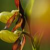 Frauenschuh-Orchidee, (Cypripedium calceolus), Schwäbische Alb, Baden-Württemberg, Deutschland