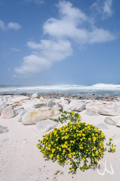 gelb blühendes Greiskraut an der Atlantikküste Südafrikas, Senecio maritimus, Olifantsbos, Table Mountain National Park, Tafelberg Nationalpark, Cape of Good Hope Nature Reserve, Kap der Guten Hoffnung, South Africa, Südafrika
