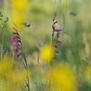 Pfriemenginster, Spartium junceum und Gladiole, Gladiolus spec., Maremma, Toskana, Italien