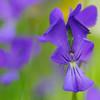 Etruskisches Veilchen, Viola etrusca, Parco Faunistico del Monte Amiata, Maremma, südliche Toskana, Italien