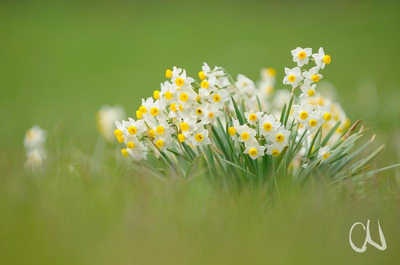 wilde Strauß-Narzisse, Bukett-Narzisse, Tazette, (Narcissus tazetta), Albegna-Tal, Maremma, Toskana, Italien