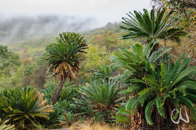 Modjadji Cycadeen, Modjadji cycad, Encephalartos transvenosus, South Africa