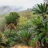 Modjadji Cycadeen, Modjadji cycad, Encephalartos transvenosus, Modjadji Cycad Nature Reserve, Limpopo, Südafrika, South Africa