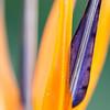 Blütendetail einer Strelitzie, (Strelitzia reginae), Pretoria, Südafrika, [en] flower detail, South Africa