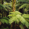 Tree Ferns, Arthur River Valley, Milford Track