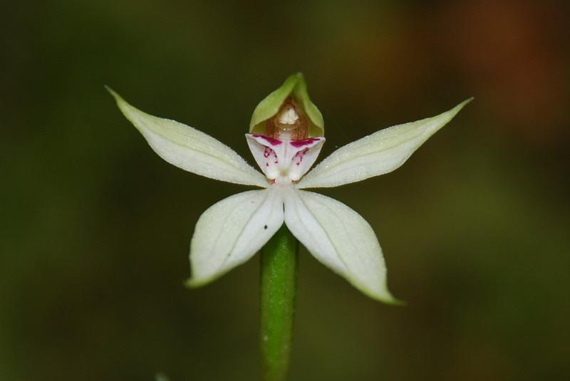 Native orchid (Caladenia Lyallii)