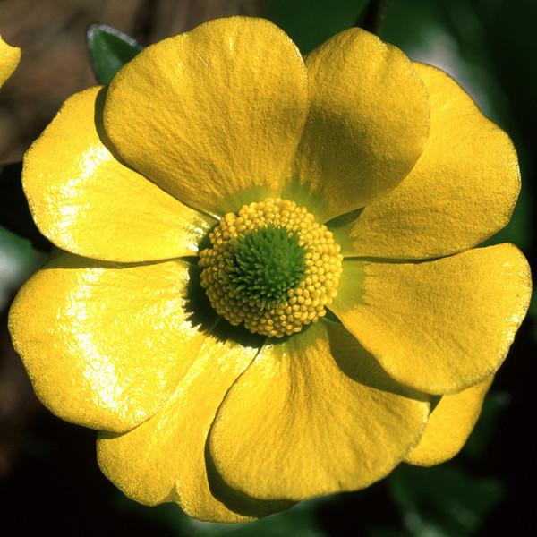 Korikori (Ranunculus insignis or godleyanus),Traverse Pass