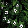 Bunchberry (Cornus canadensis), Alaska