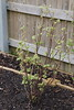 Blackcurrant Bush in raised bed