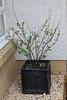 Lavetera in Planter