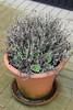 Pot Chrysanthemum sprouting again