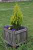 Conifer and bedding plants in a wooden container.