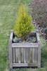 Dwarf conifer in planter