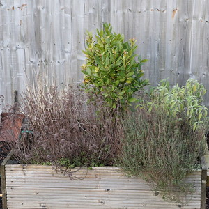 Herb Bed - Oregano, Bay, Thyme and Sage