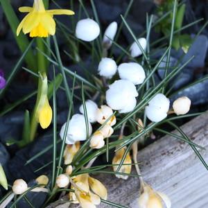 Daffodil & Crocus