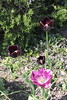 Black and Violet tulips