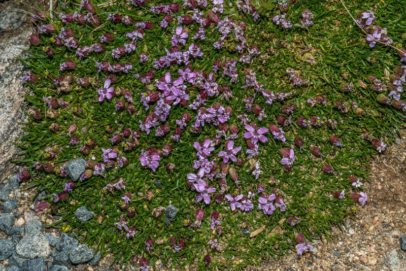 Moss campion (Silene acaulis ssp. Subacaulescens). Toll Memorial Trail, Rocky Mountain National Park