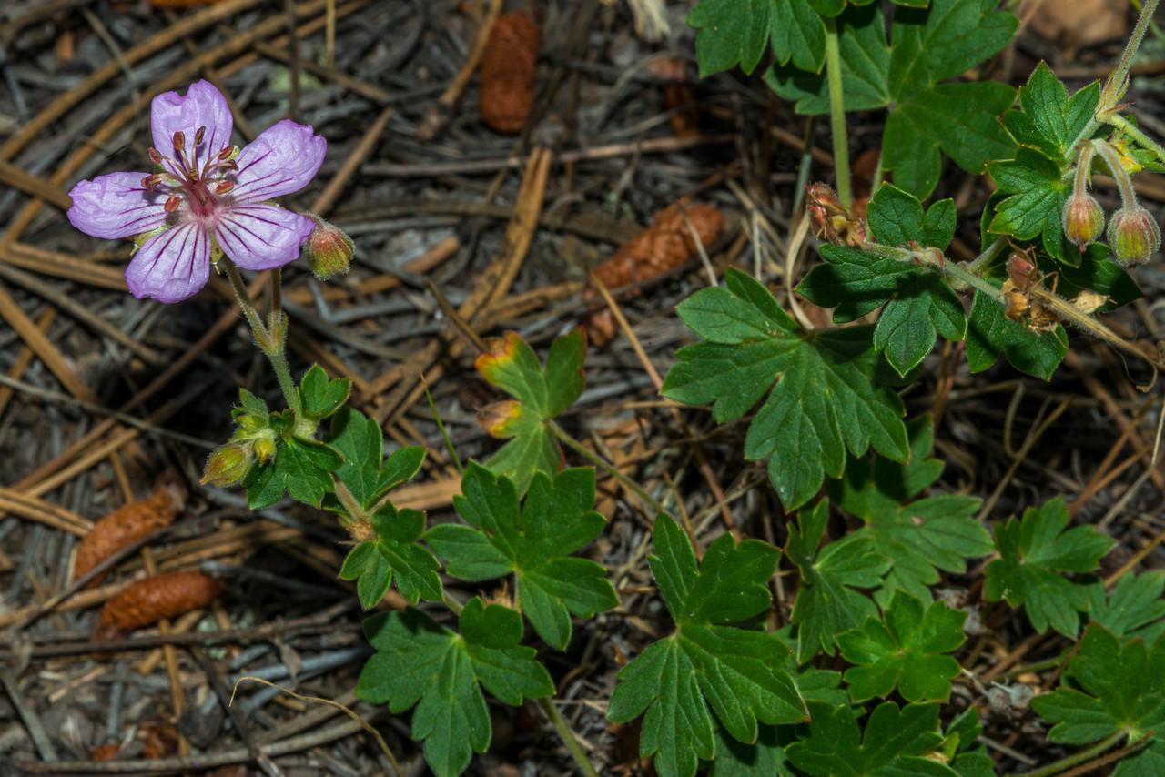 Wild geranium (Geranium caespitosum), Estes Park