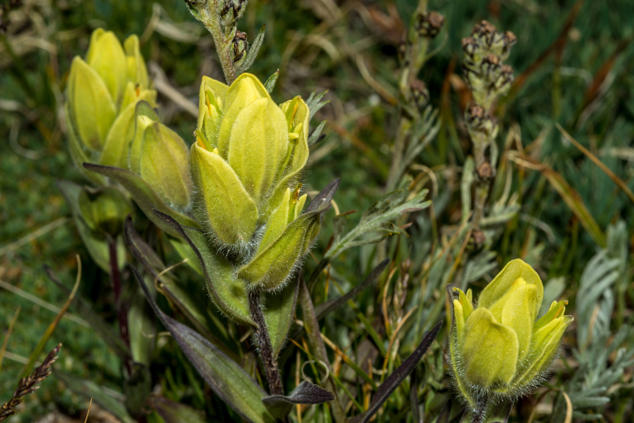 Western yellow paintbrush (Castilleja occidentalis). Marmot Point Trail, Rocky Mountain National Park