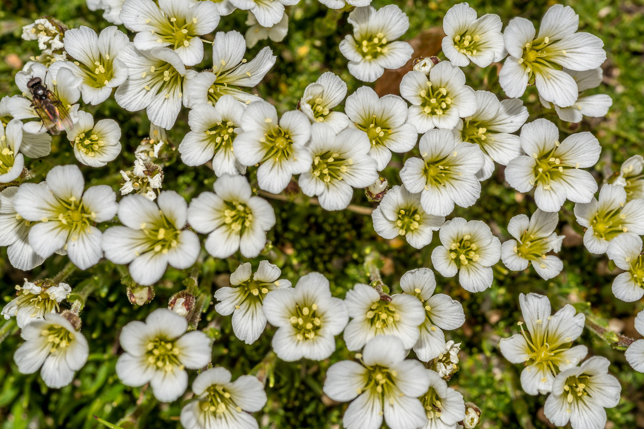 Alpine sandwort (Minuartia obtusiloba). Toll Memorial Trail, Rocky Mountain National Park