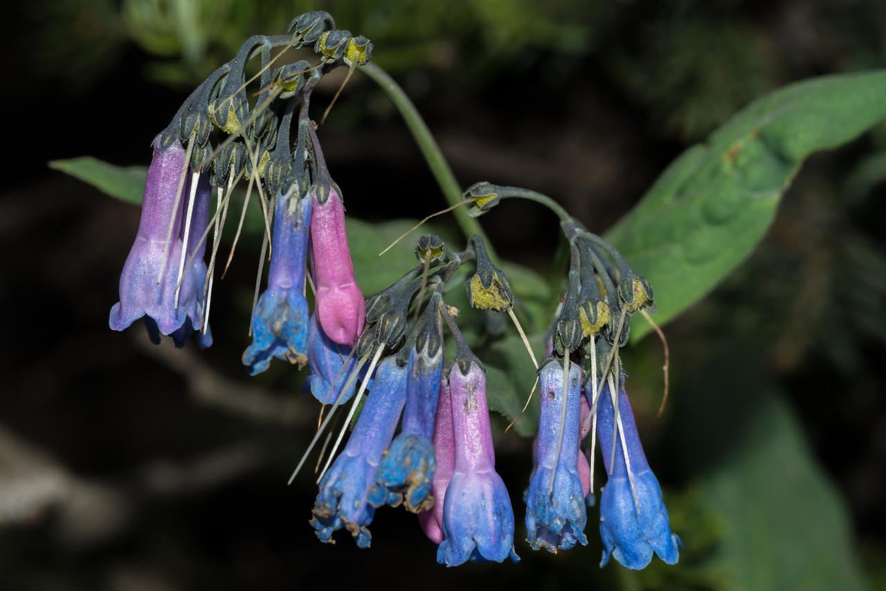 Tall chiming bells (Mertensia ciliata), Old Fall River Road, Rocky Mountain National Park