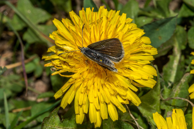 Moth on common dandelion (Taraxacum officinale), an abundant introduced plant in Rocky Mountain NP. Marmot Point Trail