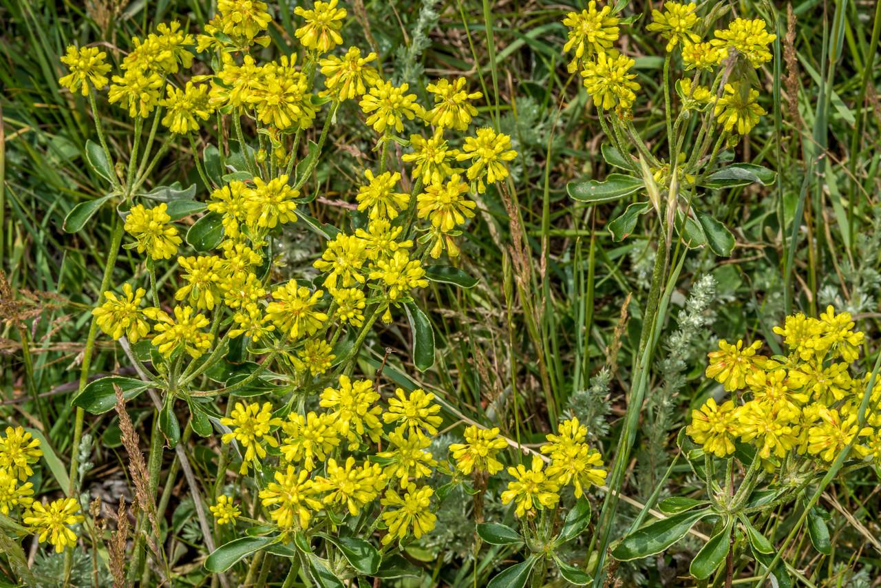 Sulfur Flower<br /> (Eriogonum umbellatum), Lily Lake