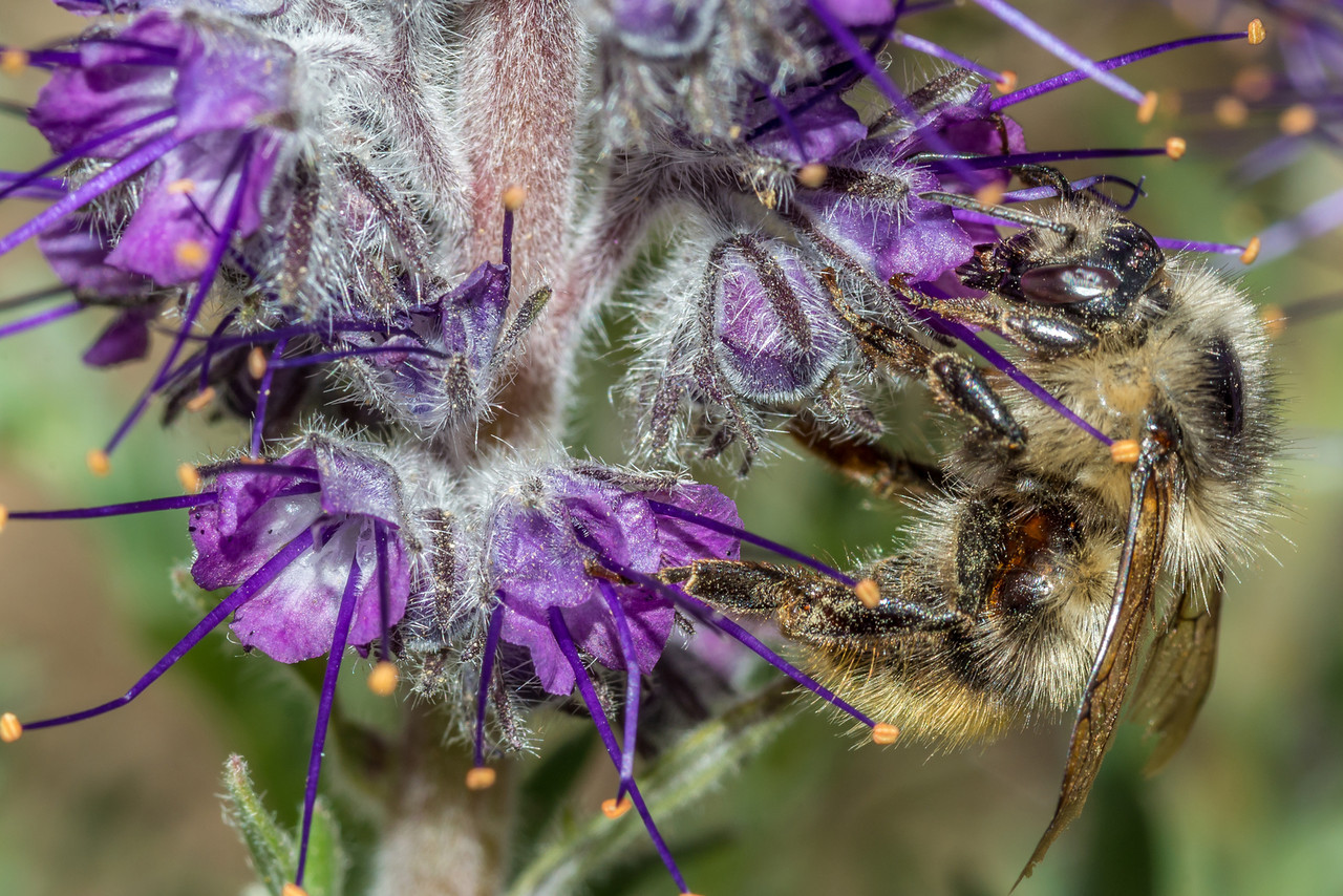 Fuzzy-horned bumble bee (Bombus mixtus) on purple fringe (Phacelia sericea). Tundra Curves, Trail Ridge Road, Rocky Mountain National Park, CO.