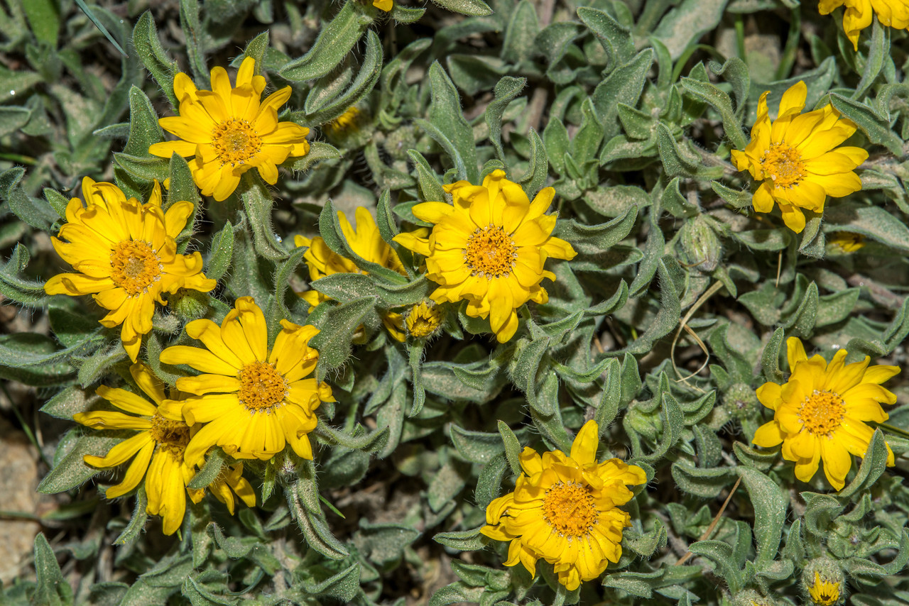 Dwarf Golden Aster (Heterotheca pumila), Old Fall River Road, Rocky Mountain National Park