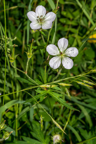 White geranium (Geranium richardsonii), Lily Lake